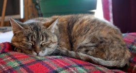 MAČKA JE ČUVAR VAŠEG ZDRAVLJA: koje bolesti mačka liječi a koje može da osjeti